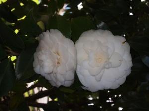 Camillia blooms 2013