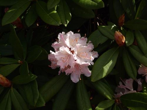 rhododendren 2013